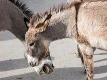 野生驮货驴子在镇里 图库摄影
