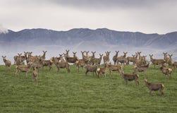 野生驯鹿站立在与山的青山的一个大小组在背景中发怒,看照相机 库存照片