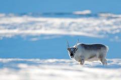 野生驯鹿,驯鹿属tarandus,与在雪的巨型的鹿角,斯瓦尔巴特群岛,挪威 在落矶山脉的斯瓦尔巴特群岛鹿在斯瓦尔巴特群岛 Wil 免版税库存照片