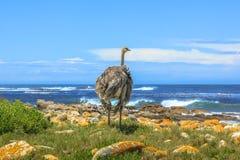 野生驼鸟开普敦半岛 库存图片