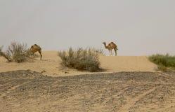2头野生骆驼在一片沙漠在迪拜,阿拉伯联合酋长国 库存照片