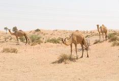 野生骆驼在热的干燥中东沙漠,迪拜,阿拉伯联合酋长国 免版税库存照片