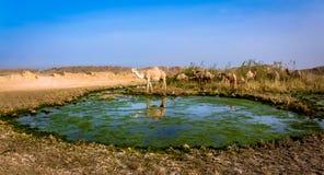 野生骆驼在科威特 库存图片