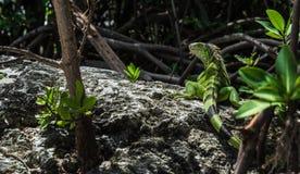 野生鬣鳞蜥在基拉戈佛罗里达 库存图片