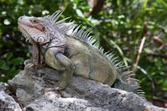 野生鬣鳞蜥在巴哈马 库存照片