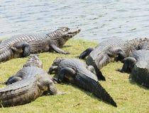 野生鳄鱼采取sunbath的小组在一条河附近在Pantana 免版税图库摄影