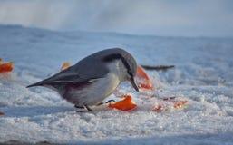 野生鸟五子雀在冬天森林里 库存照片
