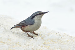 野生鸟五子雀在冬天森林里 免版税库存照片