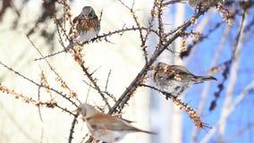 野生鸟从饥饿被保存在城市的庭院里 股票录像