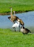 野生鸟在一个micihigan池塘 免版税库存照片