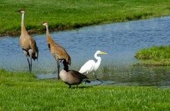 野生鸟在一个micihigan池塘 免版税库存图片