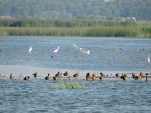 野生鸟在湖 免版税库存照片