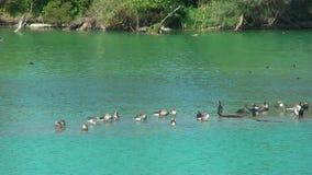 野生鸟-鹅和Ñ  ormoran -在湖 影视素材