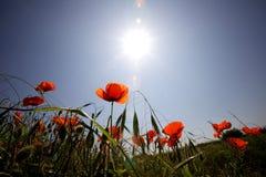 野生鸦片在一蓝天天飘动了阳光 免版税库存照片
