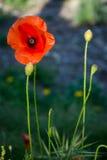 野生鸦片的美丽的花 免版税库存图片