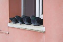 野生鸽子在冬天,坐壁架在窗口附近 免版税库存照片