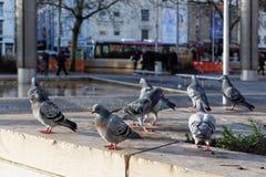野生鸽子,布里斯托尔市中心,英国 库存图片