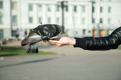野生鸽子从一只女性手被喂养在晴天的一个城市公园 库存图片