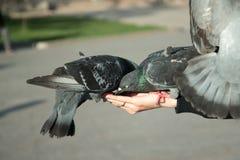 野生鸽子从一只女性手被喂养在晴天的一个城市公园 免版税库存图片