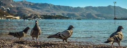野生鸽子 在海滩的鸽子 与充满活力的颜色的美丽的鸽子 免版税库存照片
