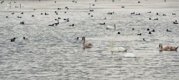 野生鹅和鸭子在方式南部在保加利亚停止了 免版税库存照片