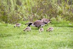 野生鹅在森林蜜饯和伊利诺伊美国德斯普兰斯河  免版税库存照片