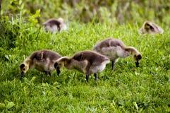 野生鹅在森林蜜饯和伊利诺伊美国德斯普兰斯河  库存图片