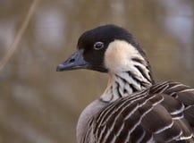 野生鹅在狂放的鸟公园 免版税库存图片