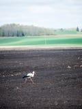 野生鹳在草甸 库存图片