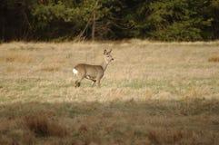 野生鹿。 免版税库存照片