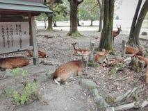 野生鹿在一个公园在奈良 库存图片