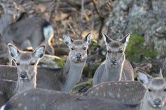 野生鹿在自然生态环境 免版税库存图片