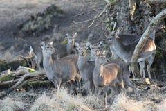 野生鹿在自然生态环境 库存照片