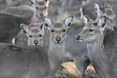 野生鹿在自然生态环境 免版税库存照片