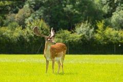 野生鹿新的森林英国英国 图库摄影