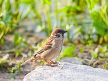 野生麻雀鸟 免版税库存照片