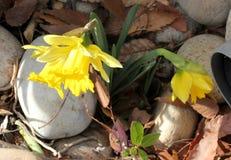 野生黄水仙,被借的百合,水仙pseudonarcissus 库存照片