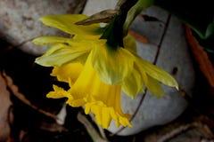 野生黄水仙,被借的百合,水仙pseudonarcissus 免版税图库摄影
