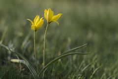 野生黄色郁金香是美丽的春天花 库存照片
