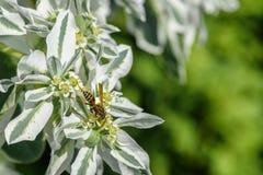 野生黄蜂坐一个白花特写镜头 库存图片