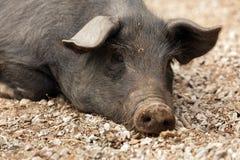 野生黑色猪 免版税库存图片