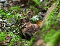 野生鼠标 免版税库存照片
