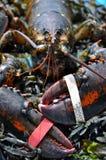 野生龙虾 库存图片