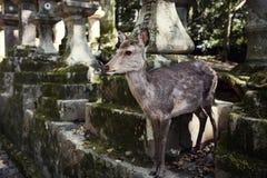 野生,自由漫游的鹿在奈良日本 库存照片