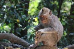 野生猴子削皮香蕉 图库摄影