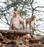 野生猴子在印度 免版税库存图片