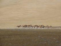 野生驴由一个游览好朋友追逐了在西藏 免版税库存图片