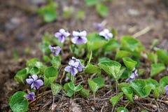 野生紫罗兰增长 库存照片