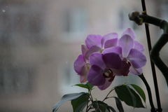野生紫色兰花在家在窗口 库存照片