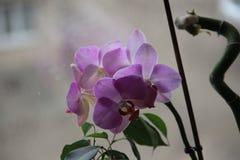 野生紫色兰花在家在窗口 免版税库存图片
